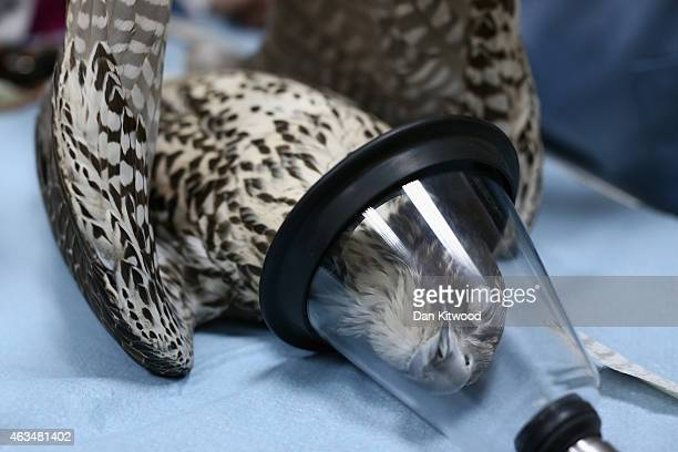 A falcon undergoes an anesthetic at the Abu Dhabi Falcon Hospital on February 3 2015 in Abu Dhabi United Arab Emirates The Abu Dhabi Falcon Hospital...