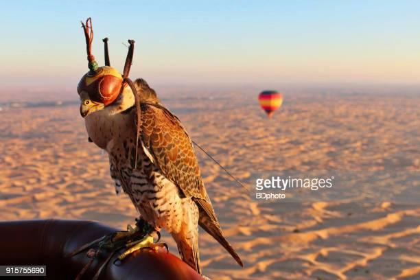 falcon wearing a hood - falcon bird stock photos and pictures