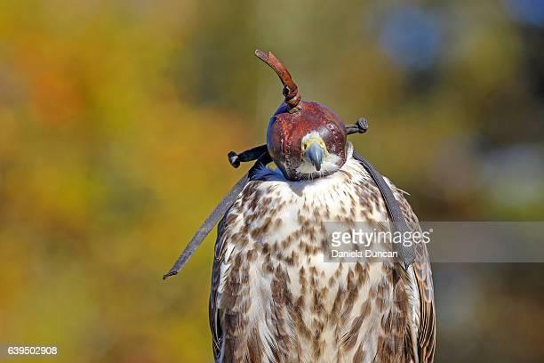 Falcon with a cap