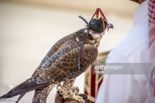 falcon with leather hood waiting to be taken for a flight/hunt in doha. - qatar stock pictures, royalty-free photos & images