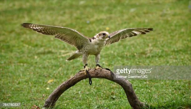 Falcon with spread wings at Sunkar Falcon Sanctuary Alma Arasan Gorge Kazakhstan