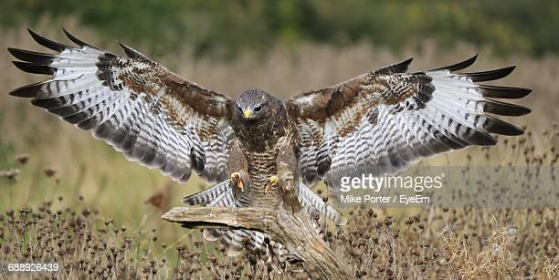 Falcon With Spread Wings