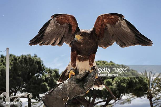 Falconer Christophe Puzin and Garfield the Harris Hawk get ready for a days work at the Martinez Hotel on May 12 2016 in Cannes France Garfield Big...