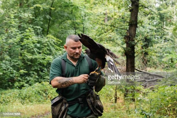Falconer Holding a Harris Hawk