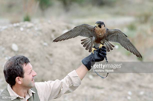A falconer holds his bird on his gloved hand