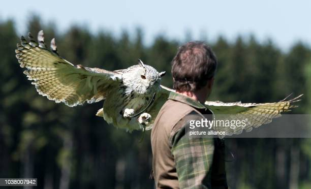 Falconer Rudi Maier lets a western Siberian eagle-owl land on his arm during a show at the Wildpark wildlife park in Poing, Germany, 10 MAy 2017....