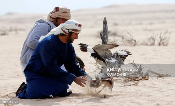 Falconers check a hunting falcon after it caught a houbara bustard flying at AlMarzoom Hunting reserve 150kms west of Abu Dhabi in the United Arab...