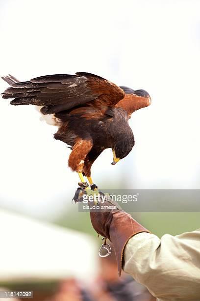Falconry. Color Image