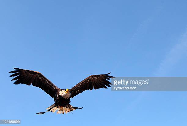 A falconry flight demonstration of Eagles is shown on the Photokina fair on September 21 2010 in Cologne Germany The Photokina is the world's biggest...
