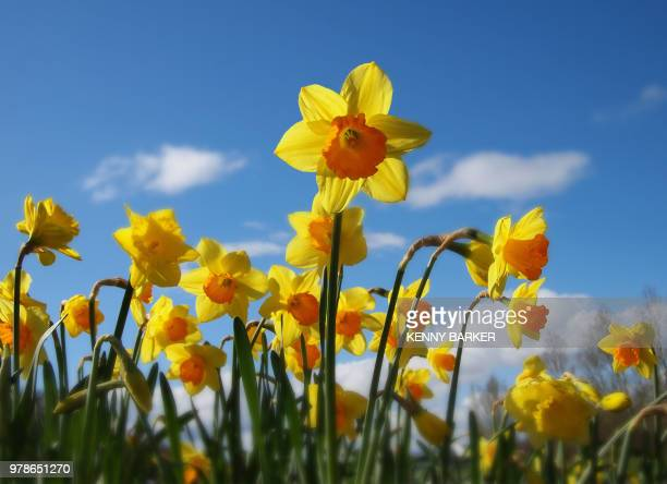 falkirk,uk - field of daffodils stock pictures, royalty-free photos & images