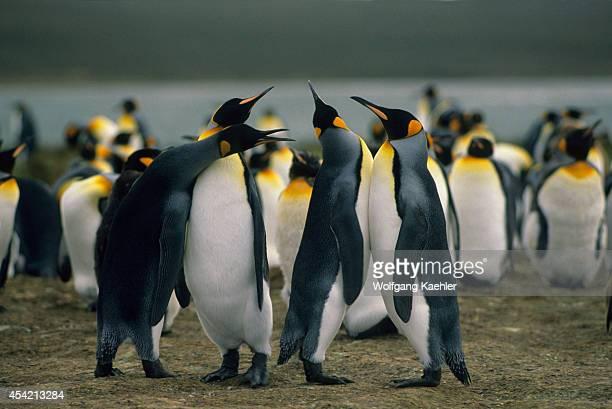 Falkland Island Volunteer Point King Penguin Colony Courtship Behavior