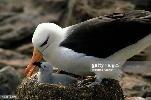 Falkland Island Westpoint Is Blackbrowed Albatross With Chick Begging For Food