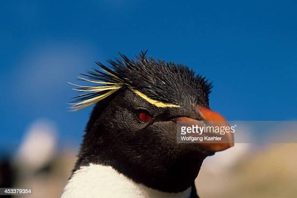 Falkland Island Westpoint Is Rockhopper Penguin Portrait