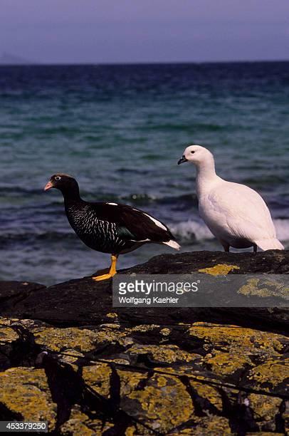Falkland Islands Carcass Island Kelp Goose Pair Male On Right