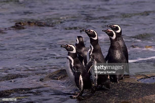 Falkland Islands Carcass Island Magellanic Penguins On Rocky Beach