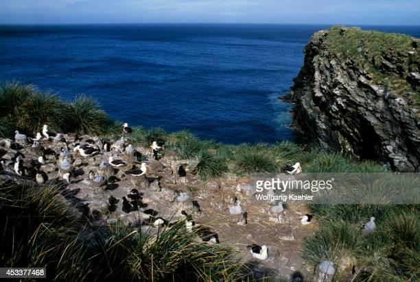 Falkland Islands New Island Blackbrowed Albatross Colony