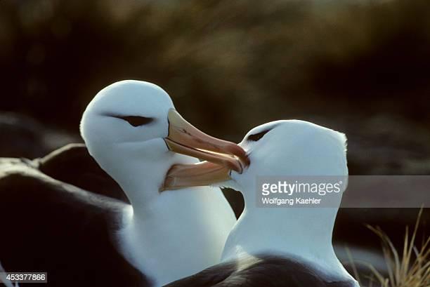Falkland Islands New Island Blackbrowed Albatross Pair At Nest Preening Feathers