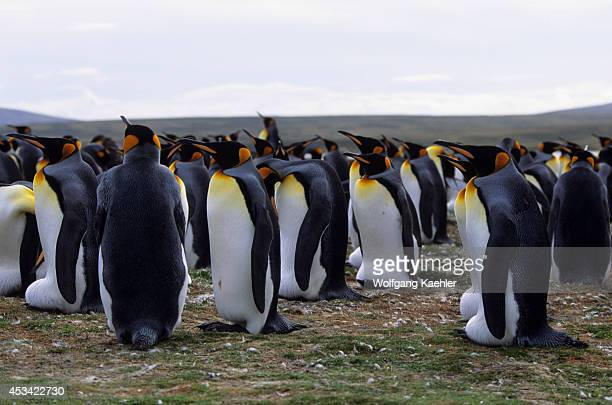 Falkland Islands Volunteer Point King Penguin Colony