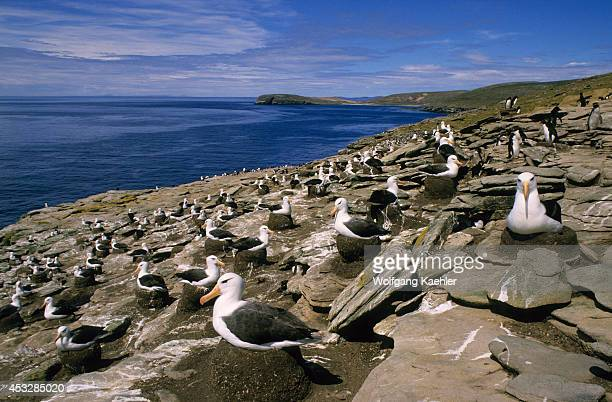 Falkland Islandsnew Island North End Blackbrowed Albatross Colony With Rockhopper Penguins