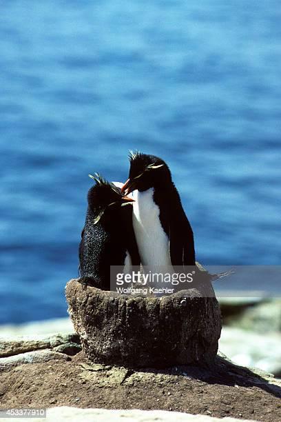 Falkland Islsnew Island North End Rockhopper Penguin Pair In Old Blackbrowed Albatross Nest
