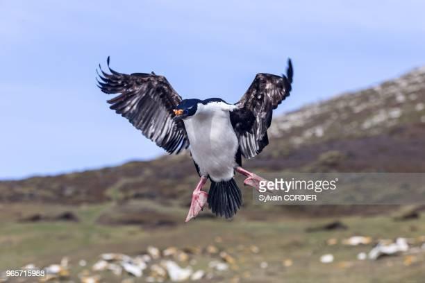 Falklands Malouines Ile de Saunders cormoran a ventre blanc Falkland Islands Saunders island King Shag or Imperial Shag