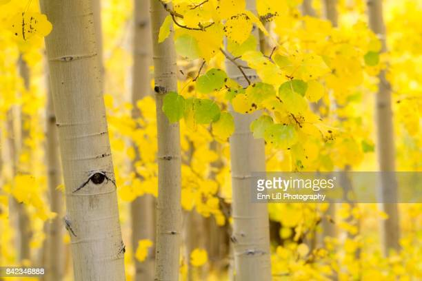fall aspen foliage - aspen tree stock pictures, royalty-free photos & images