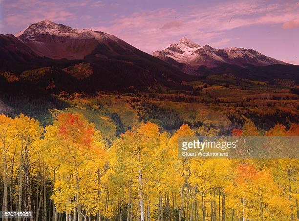 fall aspens near mount wilson, colorado - mt wilson colorado stock photos and pictures