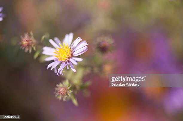 fall aster magic - flower part stock pictures, royalty-free photos & images