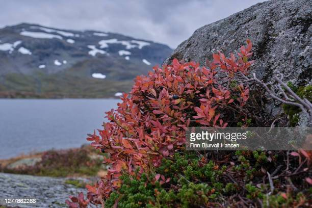 fall at haukeli in the norwegian mountains, red plants and spots of snow in the background - finn bjurvoll stock pictures, royalty-free photos & images