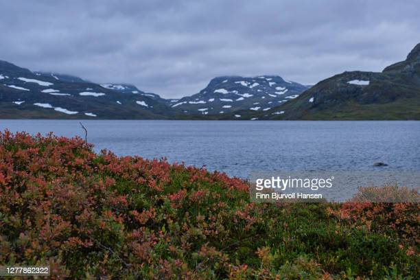 fall at haukeli in the norwegian mountains, yellow plants and spots of snow in the background - finn bjurvoll foto e immagini stock