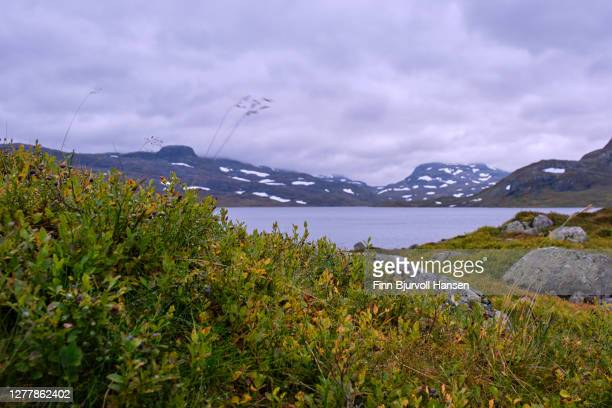 fall at haukeli in the norwegian mountains, yellow plants and spots of snow in the background - finn bjurvoll stock pictures, royalty-free photos & images