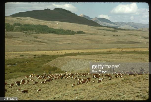 Fall Cattle Roundup in Idaho