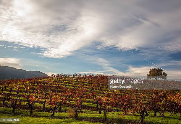 Fall color in the vineyards, Sonoma, California