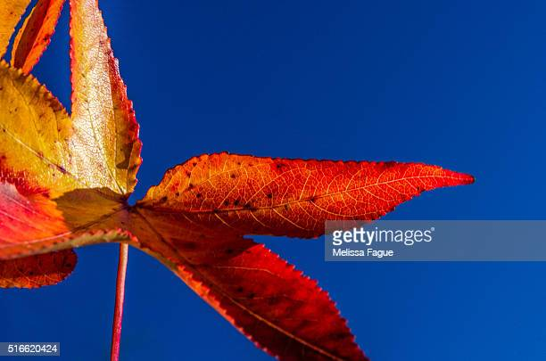 Fall Color: Nature Photograph of Red Autumn Foliage against sky