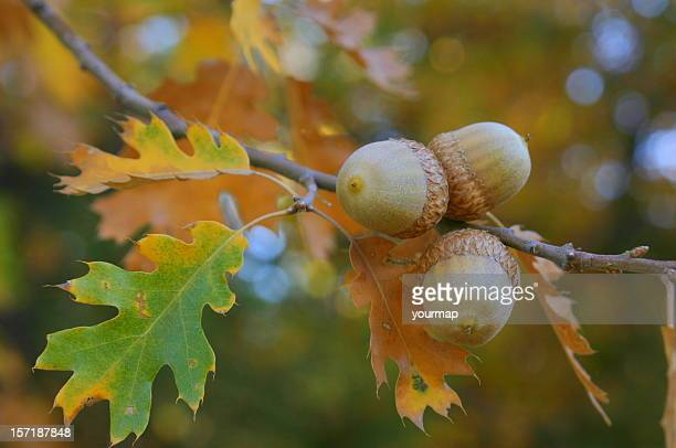 fall colors acorns - oak tree stock pictures, royalty-free photos & images
