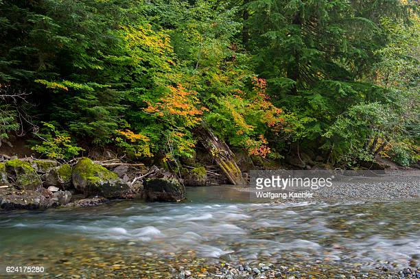 Fall colors along a channel of the Ohanapecosh River at the Grove of the Patriarchs in Mt Rainier National Park in Washington State USA