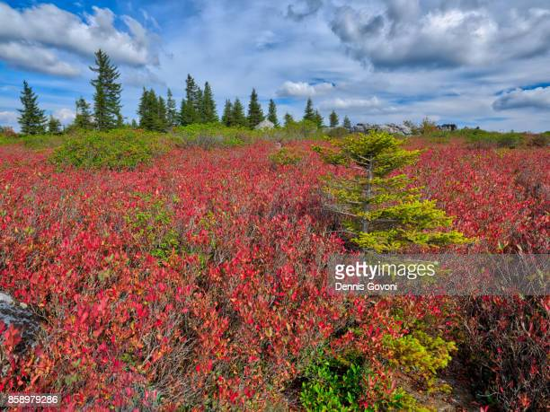 fall colors at dolly sods - monongahela national forest stock photos and pictures