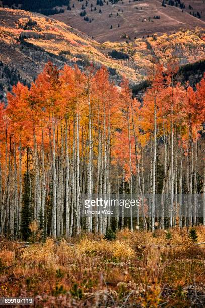 Fall colors at the White River National Forest