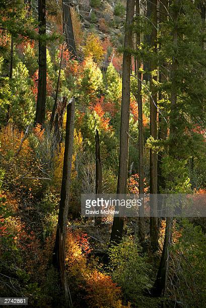 Fall colors emerge on young trees and brush in a charred forest still recovering from the 1992 Cleveland Corral wildfire along the South Fork of the...
