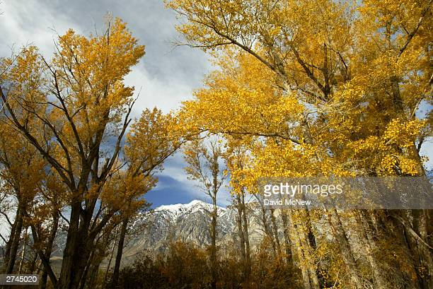 Fall colors fill trees in Round Valley November 19, 2003 in the eastern Sierra Nevada Mountains near Bishop, California. Snow forecast for later this...
