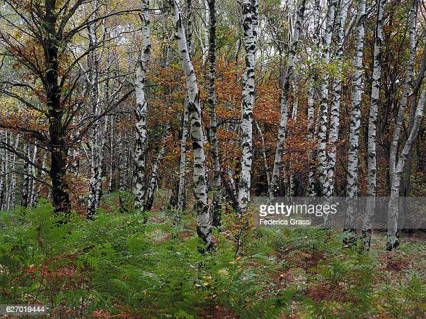 Fall Colors In A Birch Forest, Lepontine Alps, Northern Italy