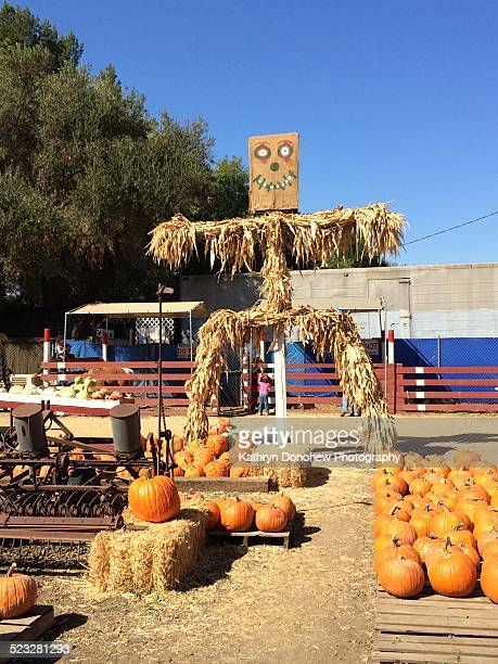 Fall colors on display on a sunny autumn day in California Scarecrow stands guard over haystacks with pumpkins and farm implements