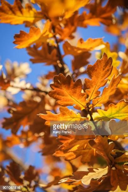 Fall colors on oak leaves