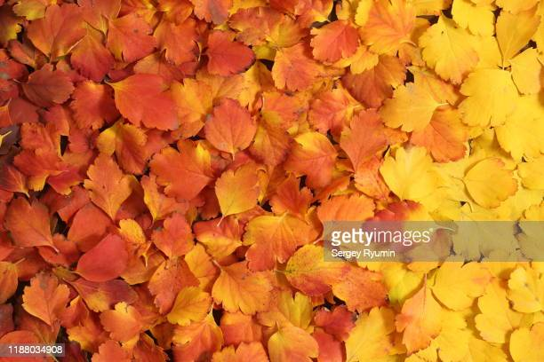 fall colors - autumn leaf stock pictures, royalty-free photos & images