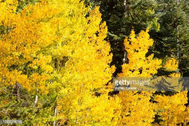 fall colours in quaking aspen near springville, tule river, california, usa. - ashley aspen stock pictures, royalty-free photos & images