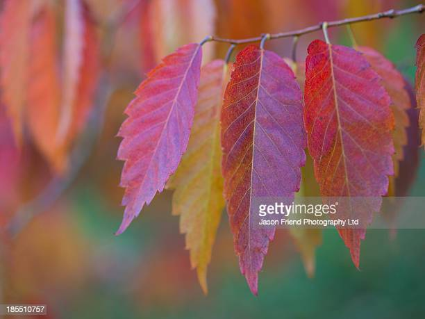 Fall Colours, Japanese Zelkova, Durham Arboretum