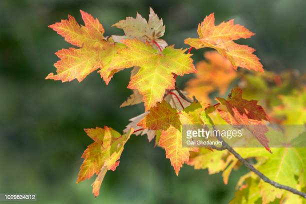 Fall Colours (Leaves on Branch)