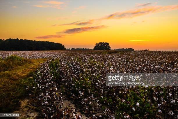 Fall Cotton