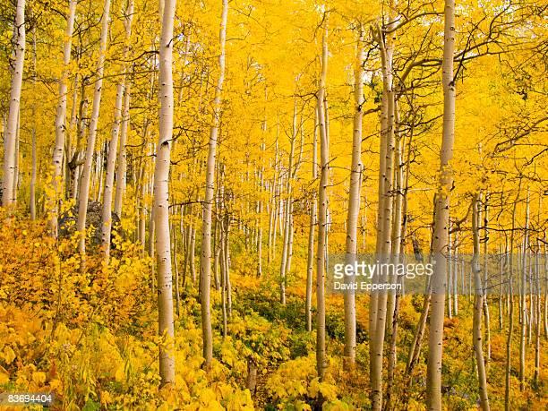 fall foliage in colorado - populier stockfoto's en -beelden