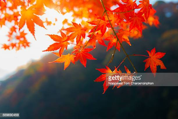 fall foliage in japan - maple tree stock pictures, royalty-free photos & images